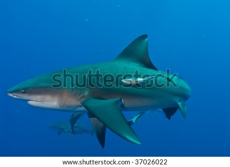 A Bull Shark at Pinnacles in Mozambique