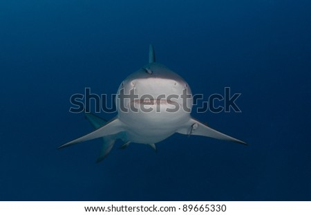 a bull shark looks straight at the camera
