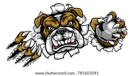 A bulldog angry animal sports mascot holding a soccer football ball and breaking through the background with its claws