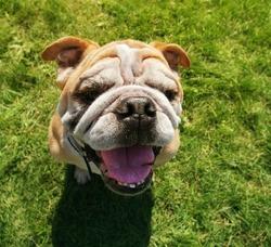 a bulldog looking at the camera