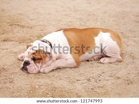 A bulldog sleeping
