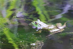 A Bullfrog enjoying the coolness of a freshwater pond on a hot summer day.