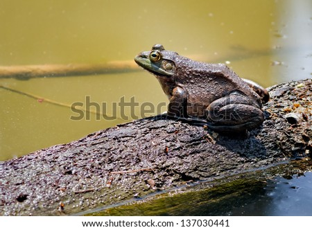 A bullfrog sits on a partially submerge fallen tree trunk in an Indiana pond.