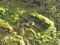A bullfrog sitting in shallow water in a swamp