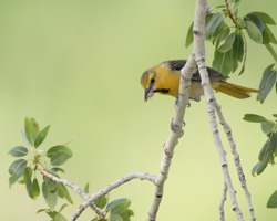 A Bullock's oriole feeds on an insect in Wyoming.