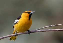A Bullock's oriole rests on a branch in Wyoming.