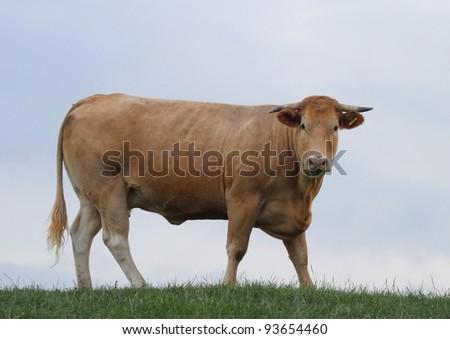 a bullock standing on grass hilltop against a blue sky