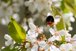 A bumble bee buzzing under the cherry tree