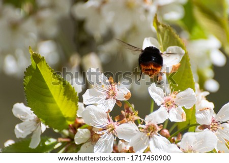 Photo of  A bumble bee buzzing under the cherry tree