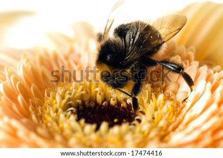A bumble-bee collects pollen on (shallow dof)