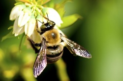 A bumble bee feeds on blueberry blooms.