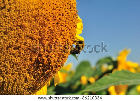 a bumblebee (Bombus spp.) looking for nectar on a sunflower (Helianthus annuus) head