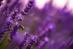 a bumblebee collecting pollen from one of the flower at lavender field in summer purple aromatic flowers near valensole in provence france
