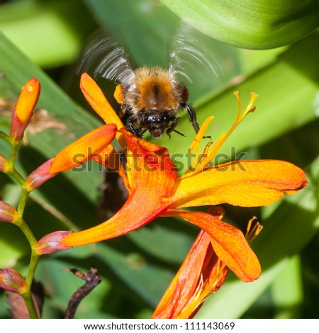 A bumblebee comes into land on a crocosmia bloom.