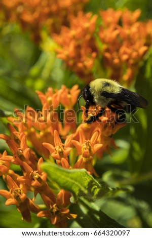A bumblebee is busy on this bright orange butterfly weed. #664320097