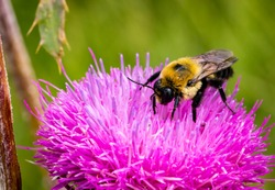 A bumblebee on a thistle flower