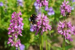 A bumblebee pollinating a purple betony flower