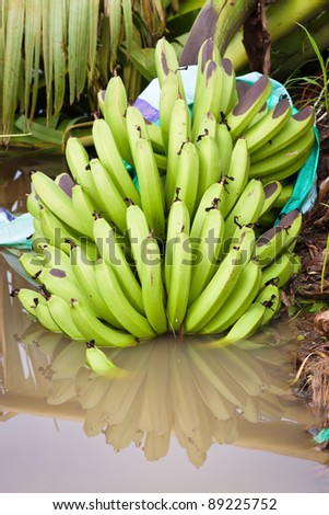 A bunch of bananas in a water puddle on a plantation after the destructive cyclone Yasi near Mission Beach, Queensland, Australia