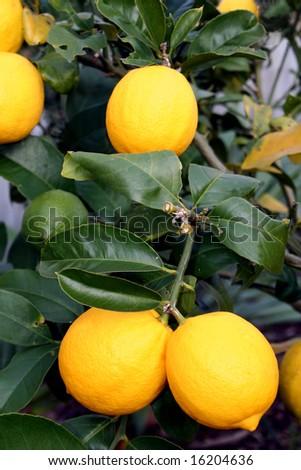 A bunch of bright yellow New Zealand Meyer Lemons on a lemon tree.