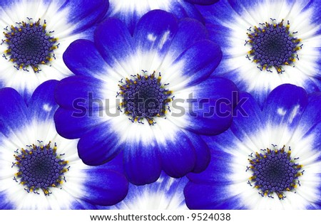 A bunch of Cineraria flowers