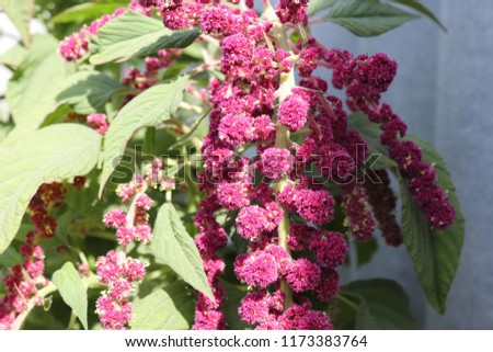 A bunch of claret flowers #1173383764