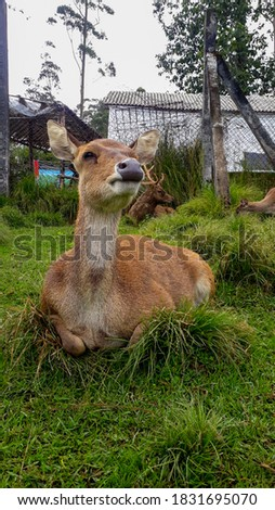 a bunch of deer in the zoo at ranca upas ciwidey indonesia