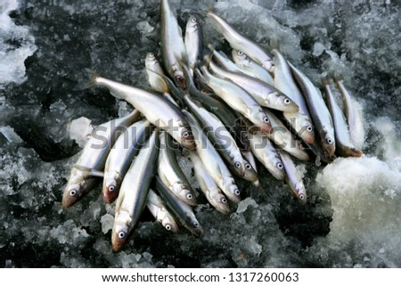 A bunch of European smelt fish on the black ice. European smelt fishing in winter time
