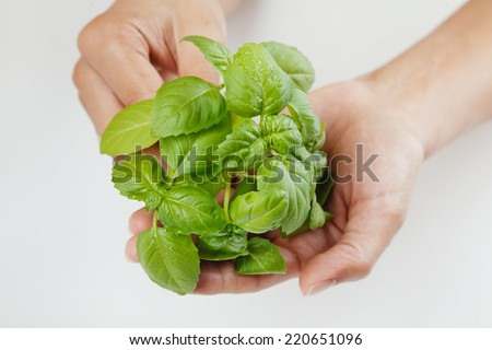 A Bunch of Fresh Basil in a Woman\'s Hand Isolated on White Background