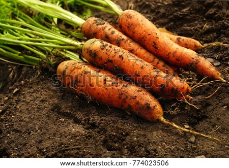 A bunch of fresh carrots with greens on the ground. A large juicy unwashed carrots   in the field against the background of the earth  close up.