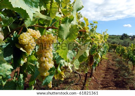 A bunch of grapes in a vineyard in the countryside of Velletri
