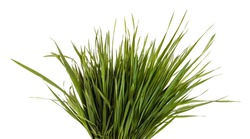 A bunch of green lawn grass. Isolated on white background