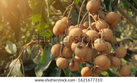 A bunch of longan bunch at the beginning of the size of the fruit, ready to cut and eat and sell in the market.