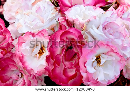 A bunch of pink and white floribunda roses