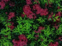 A bunch of pink flowers between green leaves can be used as a background, wallpapers or any digital printouts