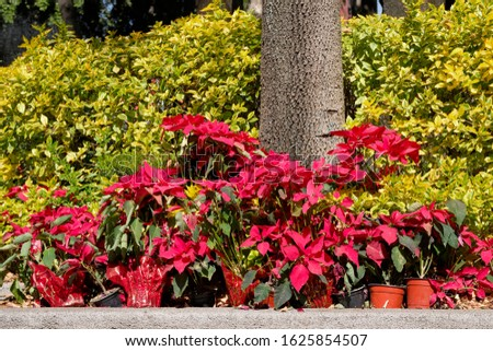A bunch of potter poinsettias in bloom at feet of a tree in a park in Mexico city