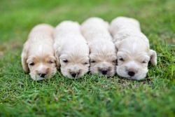 A bunch of puppies on the grass.Cute American Cocker Spaniel pups in outdoor.Adorable dog babies.Purebred little newborn lining up on park ground.