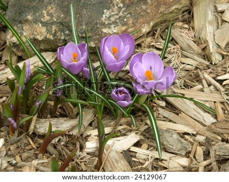 A bunch of purple crocus in a bed of wood chips.