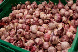 A bunch of red garlic in the green container. Organic vegetables at the market.