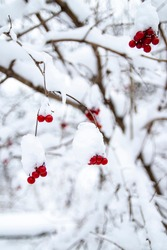 A bunch of red mountain ash with a snow cap. In a blurry winter forest in the background. Place for your text.