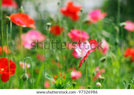 A bunch of red poppies on a field