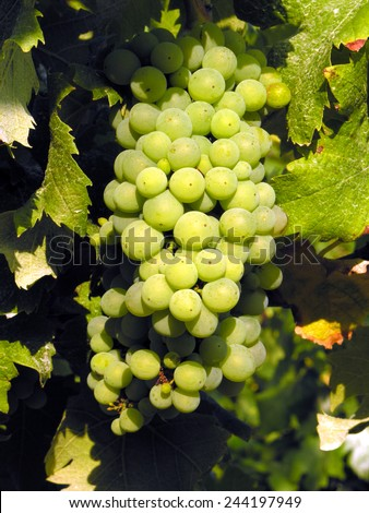 A bunch of ripe green grapes on a vine surrounded by vine leaves