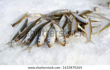 A bunch of smelt fish on the white ice.  A close up of the fishes smelt on a background of white ice. The caught smelt (Osmerus)