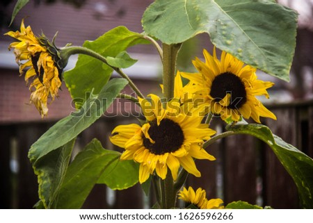 A bunch of sunflower partially shrivelled