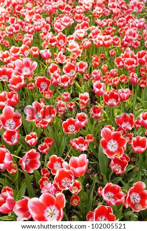 A bunch of tulips - stock photo