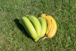 A bunch of unripe and ripe bananas lie in the green grass