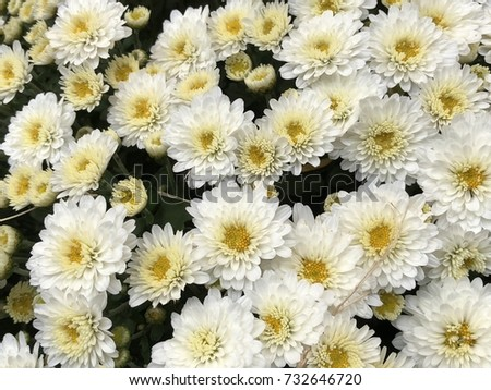 A Bunch Of White Flowers Close Up With Yellow Centers Ez Canvas