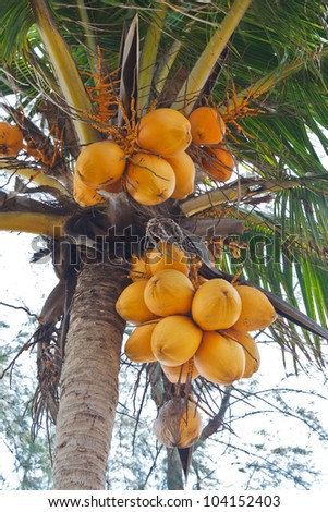 A bunch of yellow coconut at tree