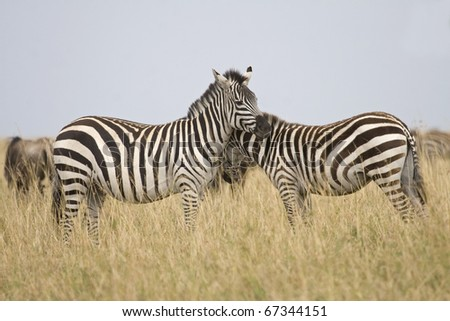 A burchell's zebra & her young on the Masai Mara during the Great Migration.