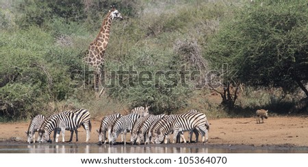 A Burchells Zebra (Equus quagga burchelli) in the Kruger National Park