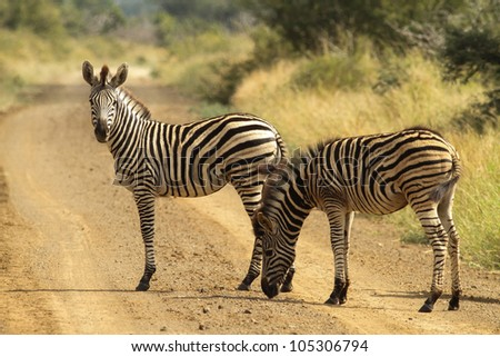 A Burchells Zebra (Equus quagga burchelli) in the Kruger Park